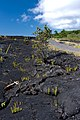 Kalapana Lava Field, Big Island (facing West).jpg