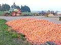Karottenernte bei Harspelt - geo.hlipp.de - 6825.jpg