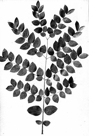 Kentucky coffee-tree, Gymncladus dioious. Leav...