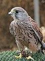 Kestrel (Falco tinnunculus) - geograph.org.uk - 517625.jpg
