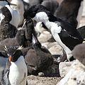 King Cormorant feeding its chick (5583136594).jpg