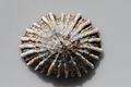 Kioloa Seashell 044.JPG