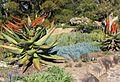 Kirstenbosch gardens - Aloes and senecio ground cover 4.jpg