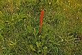 Knapweed Broomrape (Orobanche elatior) - geograph.org.uk - 1362830.jpg
