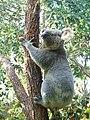 Koala 6.jpg