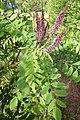 Korina 2011-05-27 Amorpha fruticosa 1.jpg