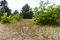 Korina 2013-07-19 Prunus serotina 2.jpg