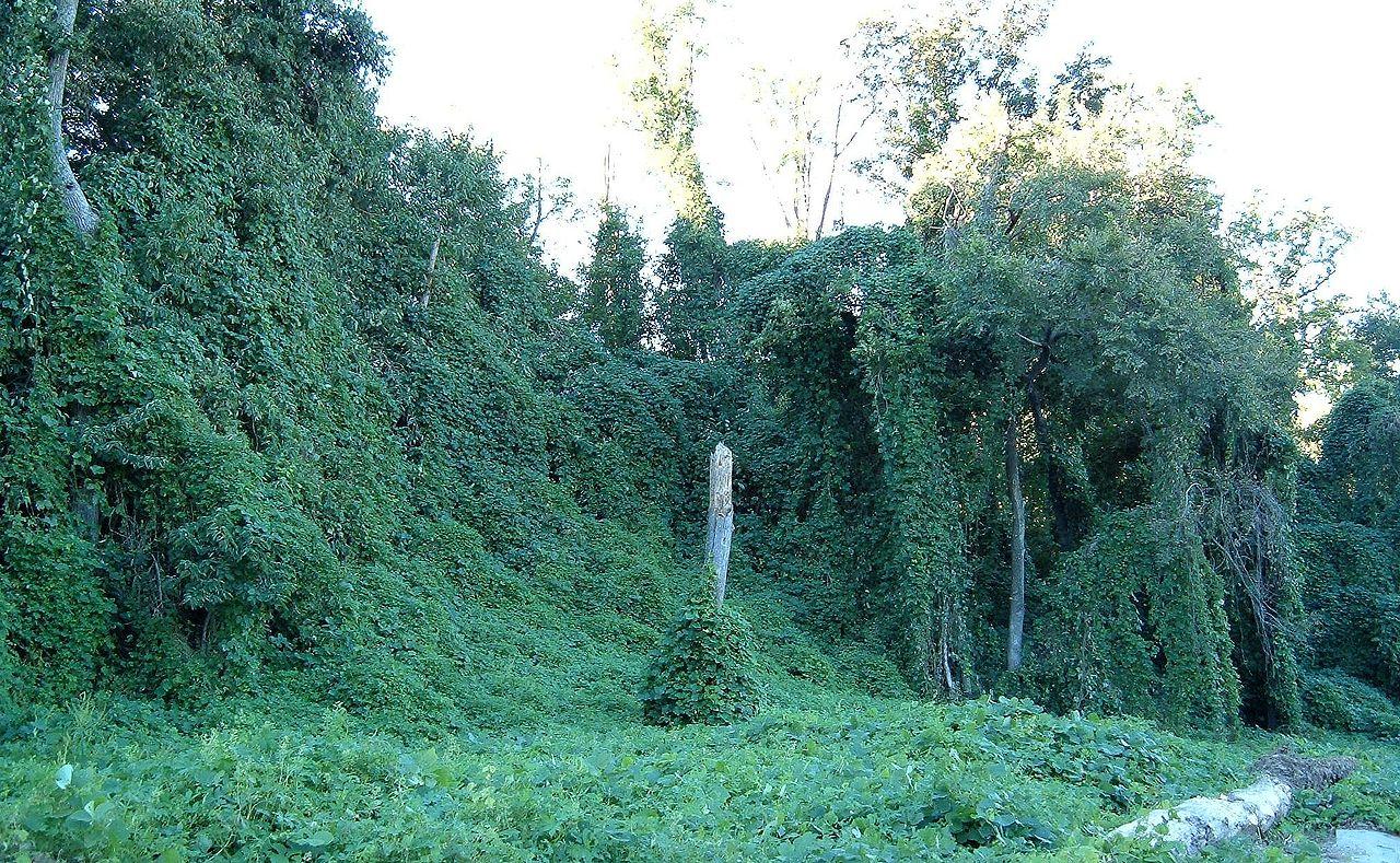 Kudzu is pervasive in many rural areas