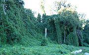 Trees infested with Kudzu (Pueraria lobata)