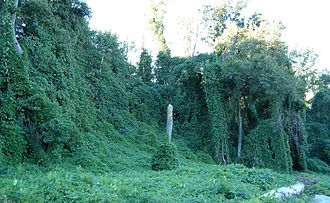 Urban ecology - Invasive kudzu vines growing on trees in Atlanta, Georgia, USA