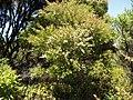 Kunzea robusta de Lange and Toelken (AM AK289225).jpg