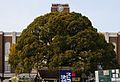 Kyoto University - campher tree.jpg