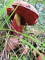 Lügde - 2014-09-08 - Flockenstieliger Hexen-Röhrling (Boletus erythropus) (3).jpg