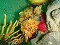 Lace false corals at Rheeder's Reef P2277123.JPG