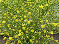 Lactuca sativa blooming 02.JPG