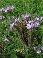 Lacy Phacelia (Phacelia tanacetifolia) - geograph.org.uk - 558485.jpg