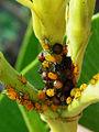 Ladybug eggs.jpg