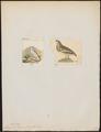 Lagopus leucurus - 1700-1880 - Print - Iconographia Zoologica - Special Collections University of Amsterdam - UBA01 IZ17100421.tif