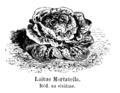 Laitue Mortatella Vilmorin-Andrieux 1904.png