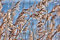 Lake grass (10470765216).jpg