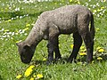 Lamb Balkhausen Germany 3.jpg