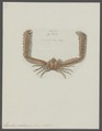 Lambrus mediterraneus - - Print - Iconographia Zoologica - Special Collections University of Amsterdam - UBAINV0274 095 04 0015.tif