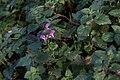 Lamier tacheté-Lamium maculatum-20141128.jpg