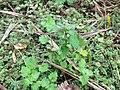 Lamium purpureum L. (AM AK330545-2).jpg
