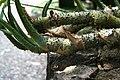 Lasia spinosa IMG 1694.jpg
