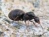 Lasius Niger wingless queen.jpg