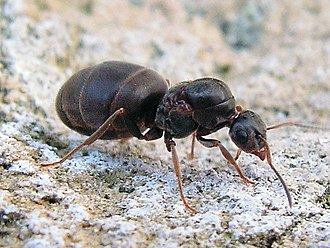 Black garden ant - L. niger queens with and without wings