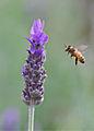 Lavender Landing Pad (6016036568).jpg