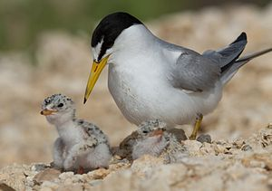 Creek Turnpike - Presence of the endangered interior least tern near the path of the Creek Turnpike caused worries its construction would have to be delayed.