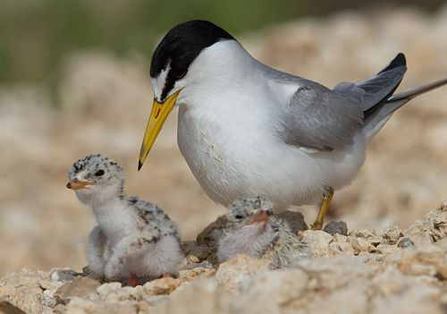Least Tern Chicks Day 2