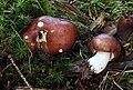 Leder-Täubling Russula integra.jpg