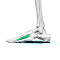 Left Fourth metatarsal bone02 lateral view.png