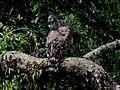 Legge's hawk-eagle IMG 6437.jpg
