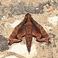 Lepidoptera (15608360363).jpg