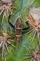 Leptoglossus crassicornis.jpg