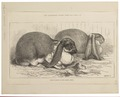 Lepus cuniculus - 1875 - Print - Iconographia Zoologica - Special Collections University of Amsterdam - UBA01 IZ20600245.tif