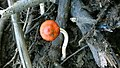 Leratiomyces ceres 711559.jpg