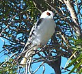 Letterwinged Kite Perched 2019.jpg