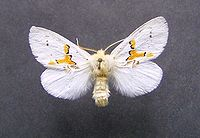 Leucodonta bicoloria.jpg