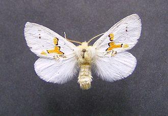 Leucodonta bicoloria - Mounted Leucodonta bicoloria