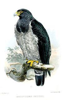 Barred hawk Species of bird