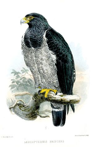 1865 in birding and ornithology -  Barred hawk Proceedings of the Zoological Society of London 1865 volume