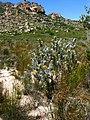 Leucospermum rodolentum Rebelo 4.jpg
