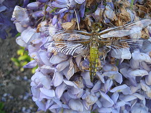 Dragonfly on a Wisteria