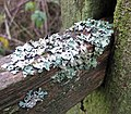 Lichen Growth on Fence - geograph.org.uk - 1622170.jpg