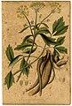 Ligusticum Levisticum Mann.jpg
